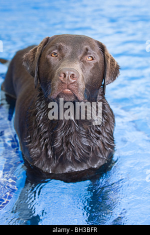 Dog about to Swim in a Swimming Pool - Stock Photo