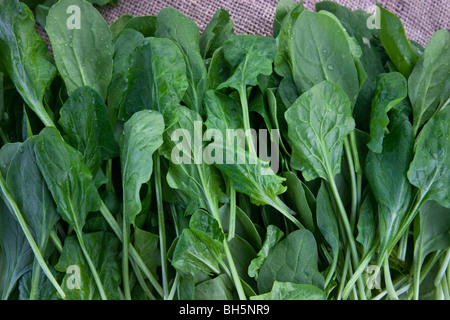 Spinach 'Baby Spinach' (Spinacia oleracea). - Stock Photo