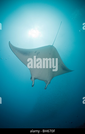 Manta, Manta birostris, Micronesia, Yap - Stock Photo