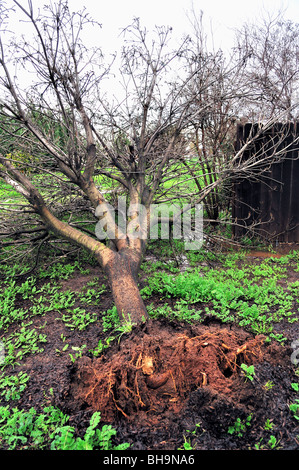 tree blown over during a windstorm, central California - Stock Photo