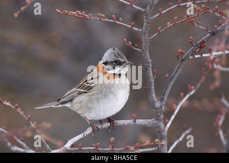 Rufous-collared Sparrow, Zonotrichia capensis - Stock Photo