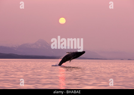 A Humpback Whale breaches from the calm waters of Alaska's Inside Passage near Juneau at sunset, Chilkat Mountains - Stock Photo
