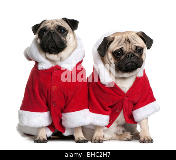 Portrait of two Pugs, 1 and 2 years old, dressed in Santa coat in front of white background - Stock Photo