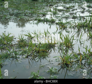 Young barley crop waterlogged after heavy rains - Stock Photo