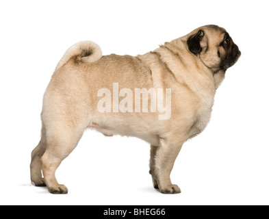 Pug, 6 years old, standing in front of white background - Stock Photo