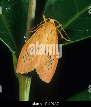 Rosy footman (Miltochrista miniata) moth - Stock Photo