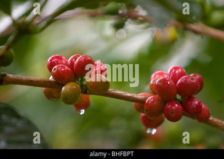Close-up of coffee beans at a coffee plantation, Langila, Highlands, Papua New Guinea, Oceania - Stock Photo