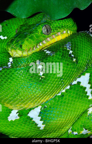 Emerald tree boa ( Corallus caninus) range: South American rain forests. Arboreal and nocturnal - Stock Photo