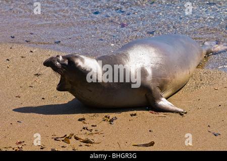 Elephant Seal (Mirounga angustirostris), Monterey Bay National Marine Sanctuary, San Simeon, California - Stock Photo