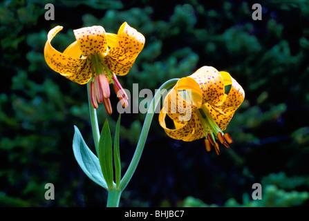 Tiger Lily aka Columbia Lily (Lilium columbianum), Yellow Wild Flowers / Wildflowers blooming in Spring, British - Stock Photo