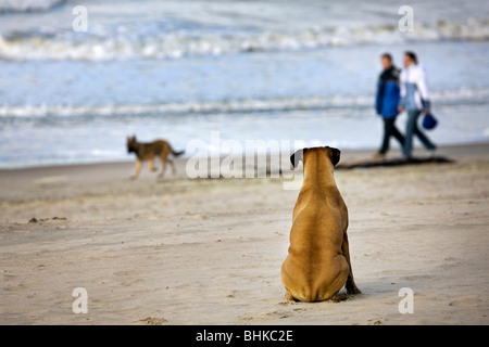 Boxer (Canis lupus familiaris) sitting in the sand watching other dog and people passing by on the beach - Stock Photo