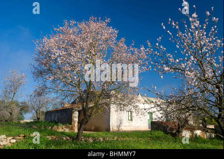 Portugal, the Algarve, almond blossom in the countryside, with an old farmhouse, near Albufeira - Stock Photo