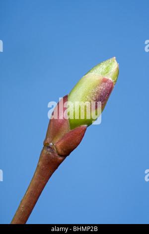 Common lime (Tilia vulgaris) bud and emerging leaf, Belgium - Stock Photo