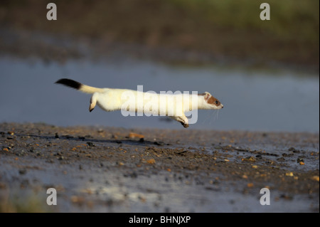 Stoat(Mustela erminea) in Winter coat hunting. - Stock Photo