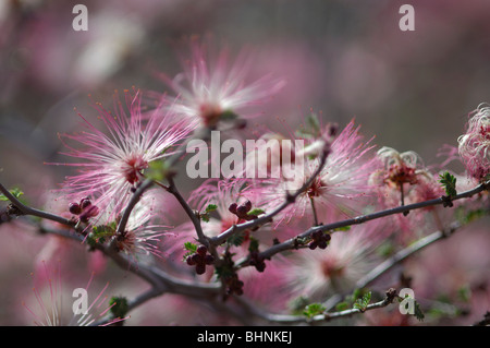 Fairyduster (Calliandra eriophylla) - Stock Photo