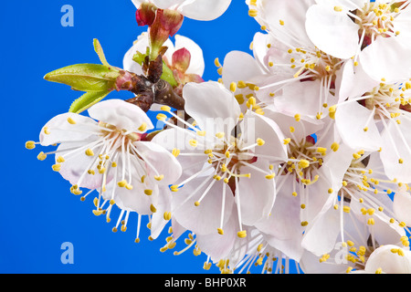 Flowers of apricot on a blue background. - Stock Photo
