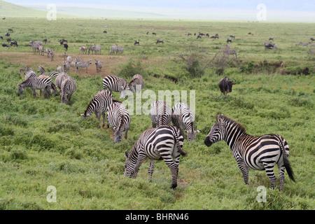 Zebras and wildebeest in Ngorongoro Crater, Tanzania - Stock Photo