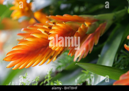 Orange Bromeliad Hybrid, Vriesea carinata, Bromeliaceae. Bromeliad Houseplant - Stock Photo