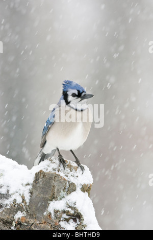 Blue Jay perched in snow - vertical - Stock Photo