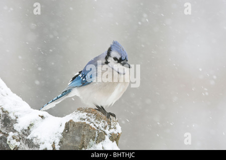 Blue Jay in Snow - Stock Photo