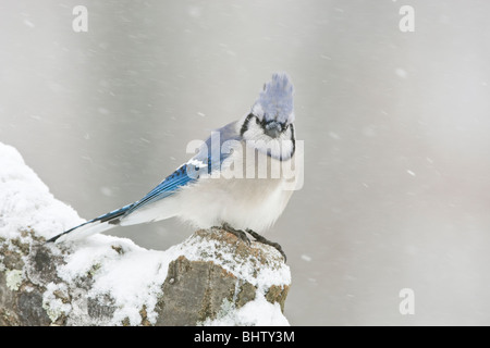 Blue Jay perched in Snow - Stock Photo