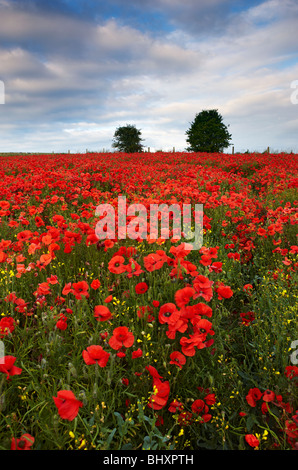 Poppies growing amongst the crops on arable land, South Downs East Sussex - Stock Photo