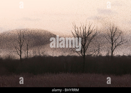 Starling roost on the Somerset Levels - Stock Photo