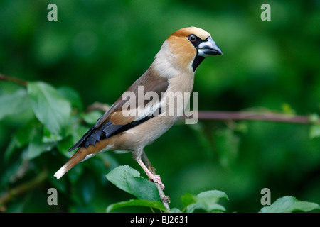 Hawfinch (Coccothraustes coccothraustes) male perched on branch in garden, Germany - Stock Photo