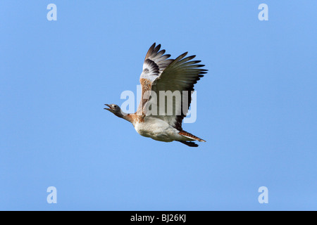 Great Bustard (Otis tarda) - in flight, NP Herdade de Sao Marcos Great Bustard reserve, Alentejo, Portugal - Stock Photo