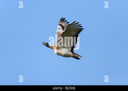 Great Bustard (Otis tarda) - in flight, NP Herdade de Sao Marcos Great Bustard reserve, Alentejo, Portugal - Stock Photo