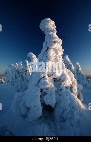 Snow covered Norway Spruce trees, Picea abies, in winter, Brocken mountain, National Park Hochharz, Saxony_Anhalt, - Stock Photo