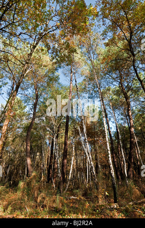 Pine and Silver Birch in mixed woodland - sud Touraine, France. - Stock Photo