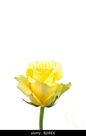 Yellow rose (Rosa), with dew drops - Stock Photo