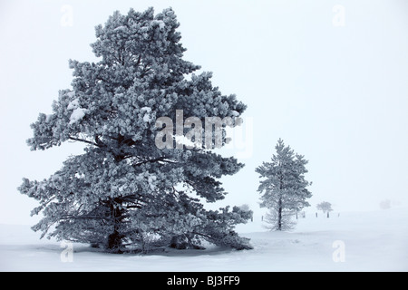 Snow covered pine trees in freezing fog on a scottish mountain at sunrise - Stock Photo