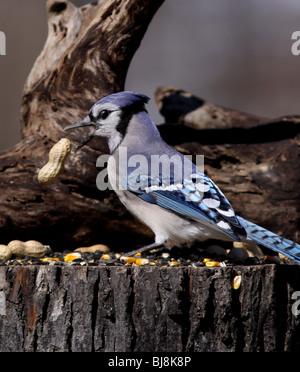 blue jay eating peanut - Stock Photo
