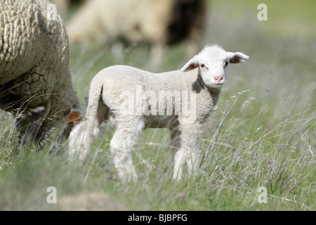 Merino Lamb (Ovis ammon aries), on meadow, Portugal - Stock Photo