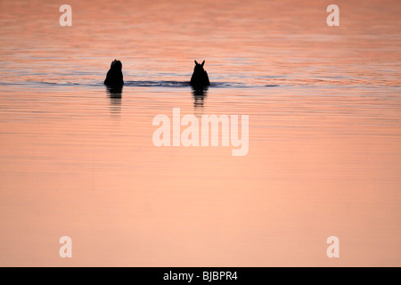 Mallard (Anas platyrhynchos), 2 ducks, feeding on lake at twilight, Texel, Holland - Stock Photo