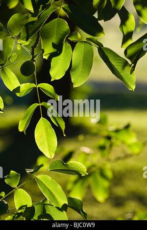 Leaves of walnut tree - Stock Photo