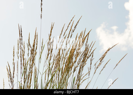 Seed head tops of tall grass against blue sky - Stock Photo