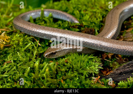 Slow worm / slow-worm / slowworm (Anguis fragilis) in a forest of the Morvan, France - Stock Photo