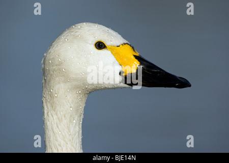Bewick's swan (Cygnus bewickii) close up, England, Europe - Stock Photo