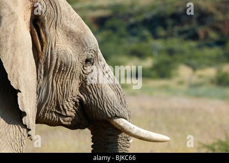 African Forest Elephant (Loxodonta cyclotis), Damaraland, Namibia, Africa - Stock Photo