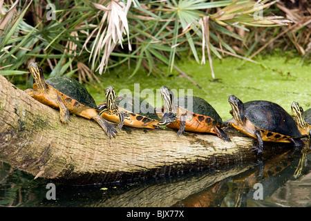 Florida Red-bellied Turtles - Green Cay Wetlands - Delray Beach, Florida USA - Stock Photo