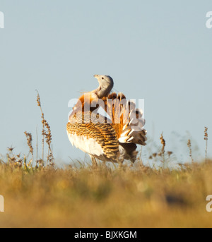 Great Bustard Otis tarda Male displaying Extremadura Spain - Stock Photo