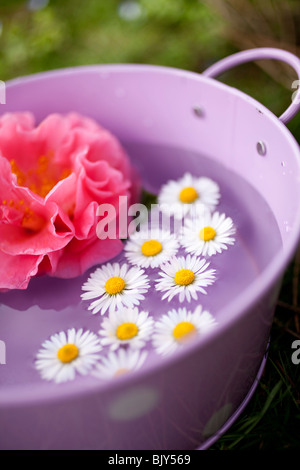 Pink camelia flower and daisies in a purple tin pot in the green - Stock Photo