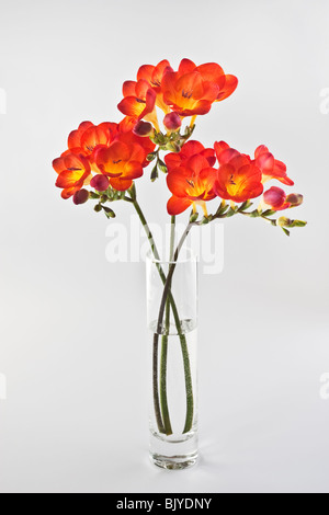 Red Freesia in glass vase - Stock Photo