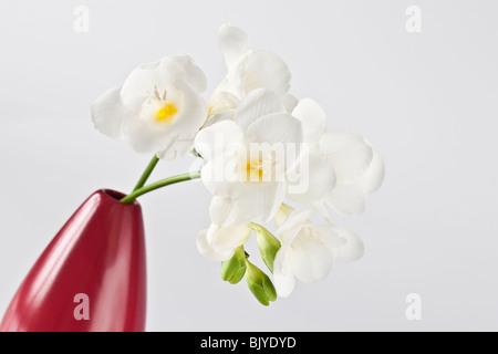 White Freesia in red Vase - Stock Photo