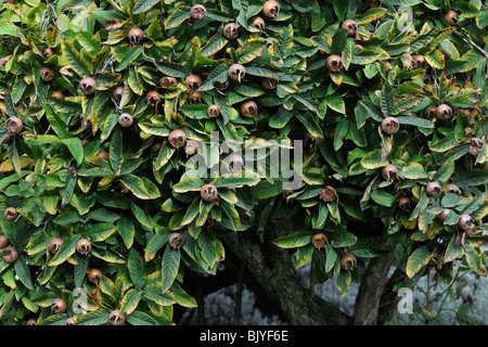 Common Medlar (Mespilus germanica) showing fruit / pomes - Stock Photo