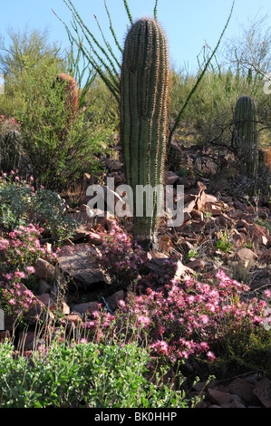 A saguaro cactus, fairy duster, and ocotillo, Tucson Mountain Park, Sonoran Desert, Tucson, Arizona, USA. - Stock Photo
