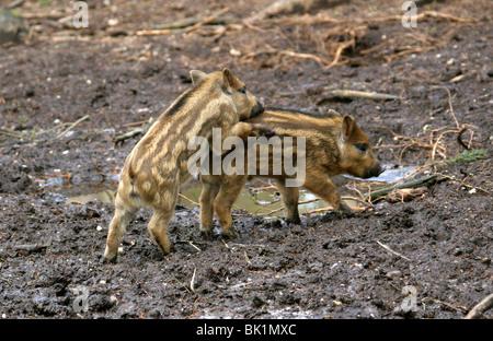 European Wild Boar Piglets, Sus scrofa scrofa, Suidae, Playing in the Mud - Stock Photo